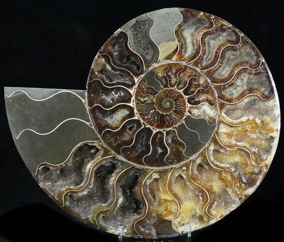 "7.8"" Cut Ammonite Fossil (Half) - Agatized"