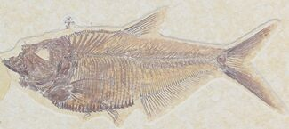"Buy Detailed 6.1"" Diplomystus Fish Fossil From Wyoming - #32740"