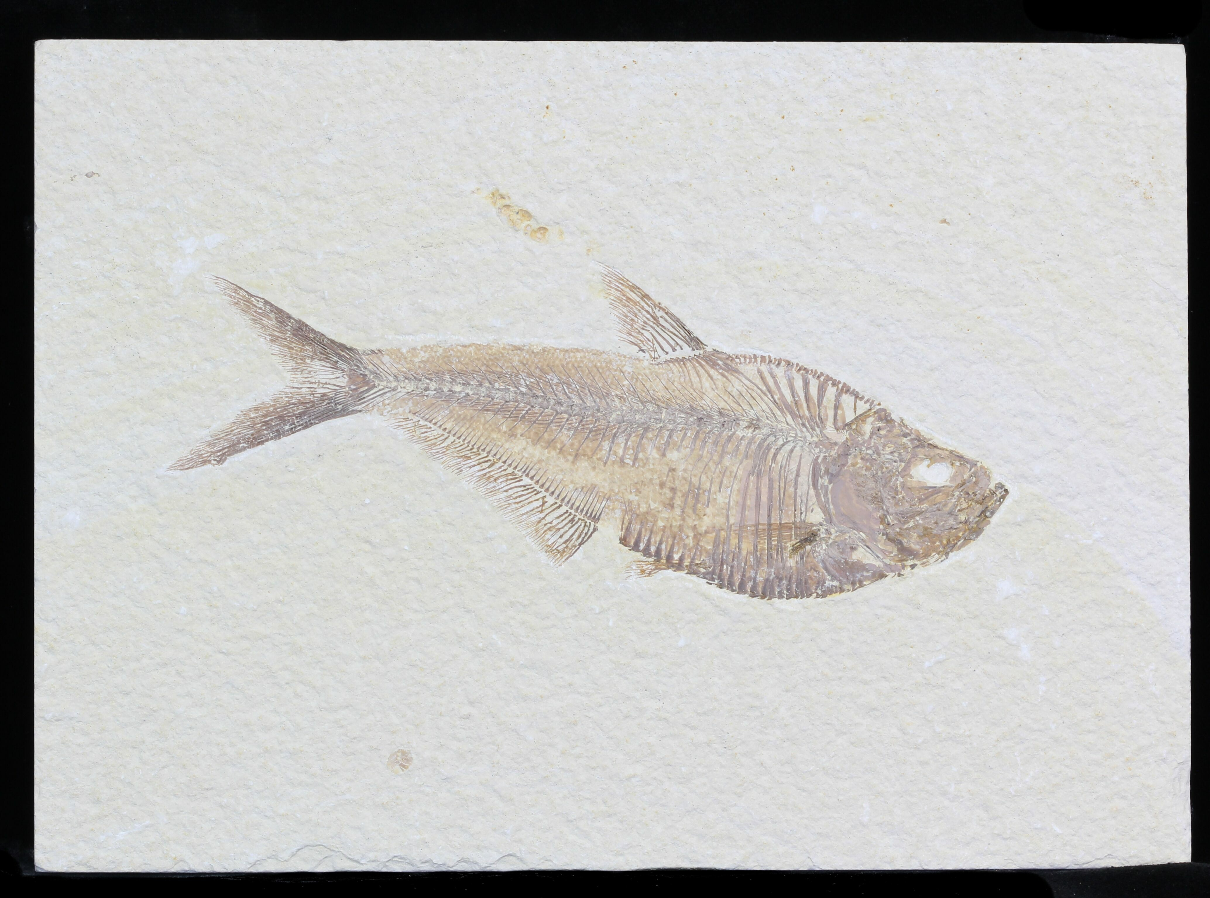 Detailed 6 diplomystus fish fossil from wyoming for sale for Fish fossils for sale