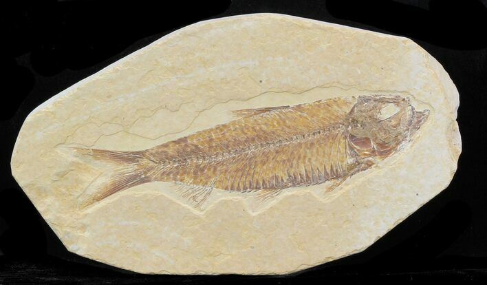 "3.8"" Knightia Fossil Fish - Wyoming"