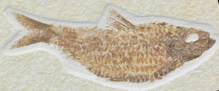 "Fat 4.6"" Knightia Alta Fossil Fish"