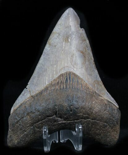 "Serrated, 3.73"" Megalodon Tooth - Georgia"