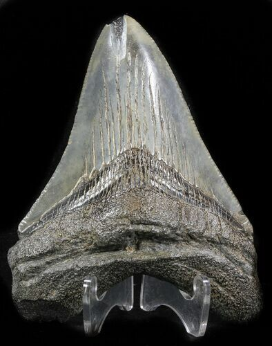 "Bargain 3.50"" Megalodon Tooth - South Carolina"