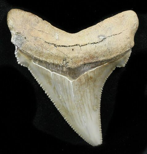 "Serrated 2.08"" Angustidens Tooth - Megalodon Ancestor"