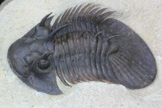 "1.92"" Undescribed Corynexochid Trilobite - Very Rare For Sale, #34502"