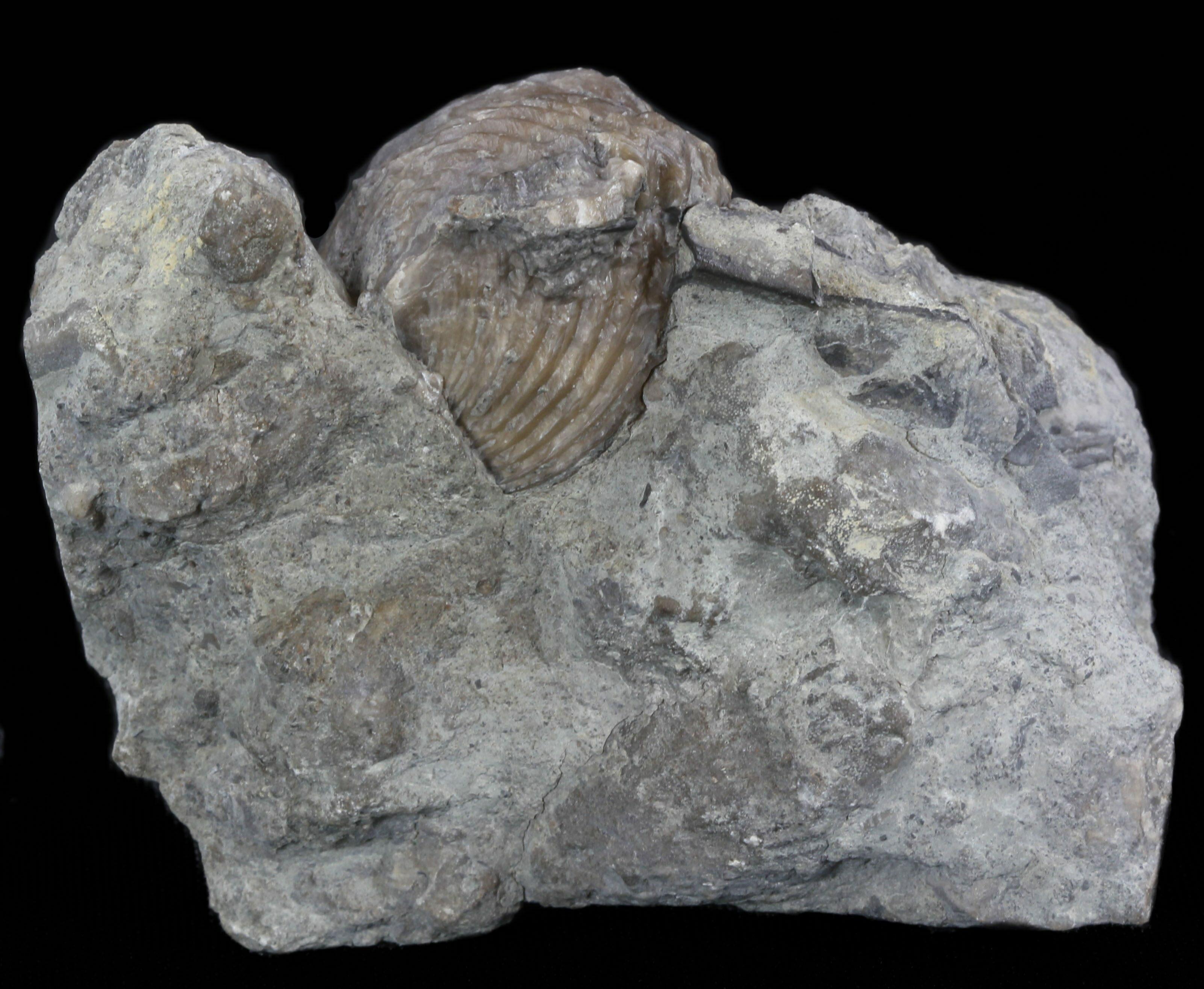 Platystrophia Brachiopod Fossil From Kentucky For Sale
