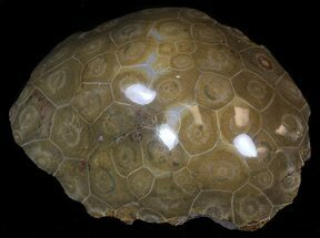 "4.9"" Polished Fossil Coral - Morocco For Sale, #35327"