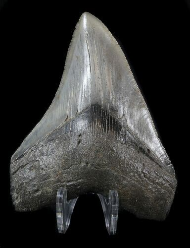 "Serrated, 3.96"" Fossil Megalodon Tooth"
