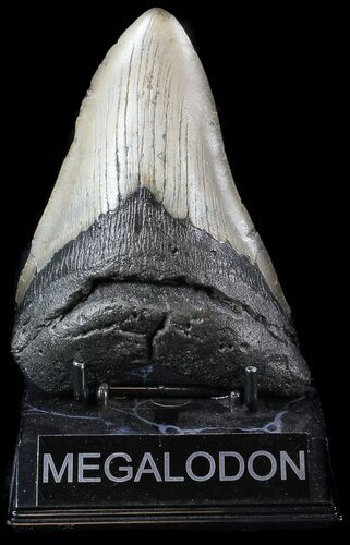 "Bargain, 4.95"" Megalodon Tooth - North Carolina"
