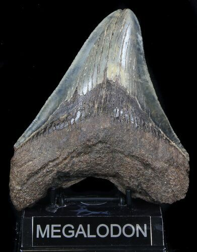 "6.06"" Serrated Megalodon Tooth - Whopper"
