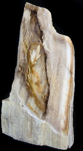 "6.3"" Polished Petrified Wood Section - Oregon"