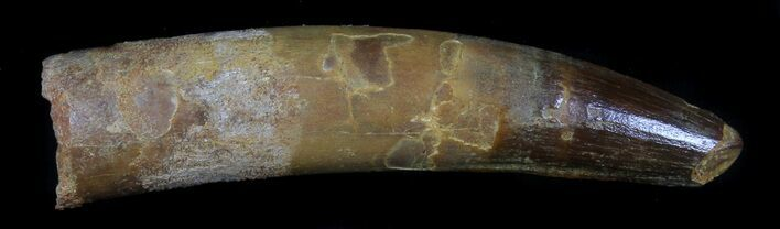Rare, Fully Rooted Spinosaurus Tooth - 4.15""