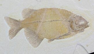 "7"" Phareodus Fish Fossil - Excellent Specimen For Sale, #36938"