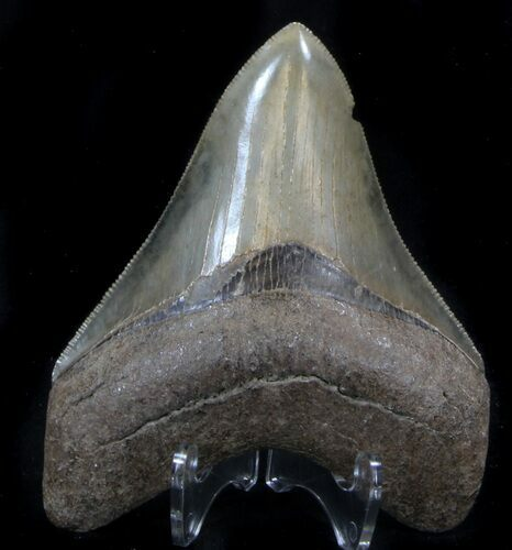 "Serrated, 3.41"" Megalodon Tooth - Georgia"