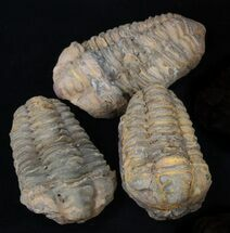 Calymene sp. - Fossils For Sale - #37518