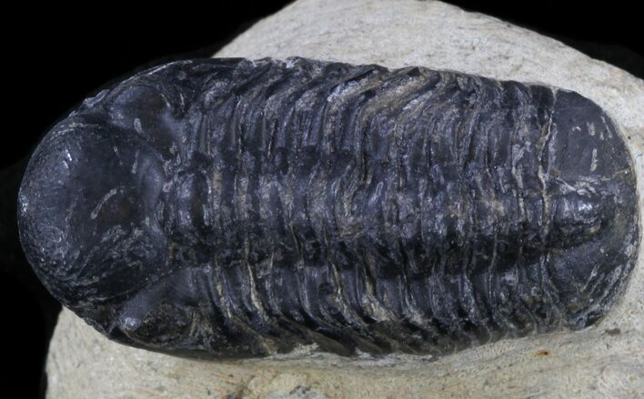 "Bargain Reedops Trilobite Fossil - 1.38"" Long"