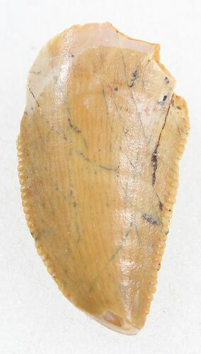 "Serrated, 0.63"" Raptor Tooth - Morocco"