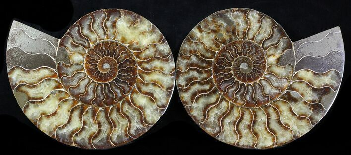 "8.35"" Cut & Polished Ammonite Fossil - Agatized"