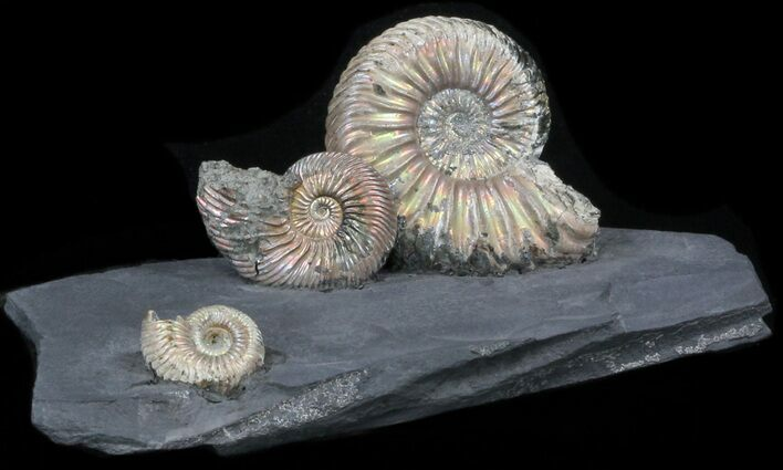 Iridescent Ammonite Fossils Mounted In Shale - 5.5x2.5""