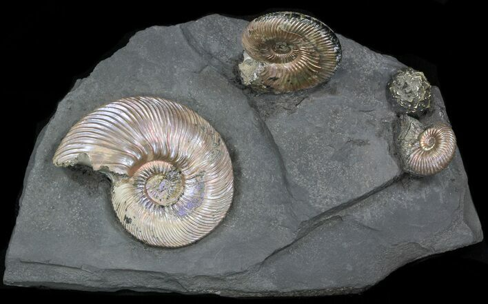 "Iridescent Ammonite Fossils Mounted In Shale - 5.3""x3.1"""