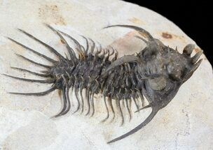 "Buy Very Nice Quadrops Trilobite - 2.75""  - #38797"