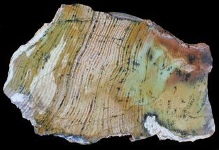 "7.3"" Strelley Pool Stromatolite Fossil - 3.43 Billion Years Old For Sale, #39035"