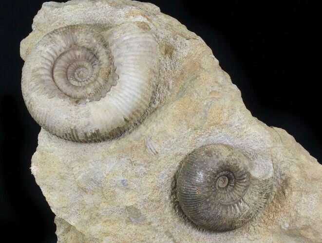 Double Stephanoceras Ammonite Display - Dorset, England