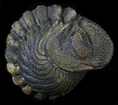 Bumpy Enrolled Barrandeops (Phacops) Trilobite For Sale, #39461