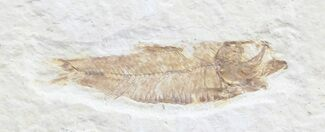"Bargain 1.8"" Knightia Fossil Fish - Wyoming For Sale, #39659"