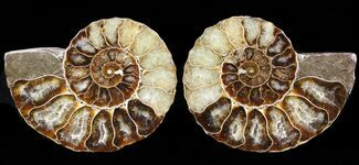 Cleoniceras cleon - Fossils For Sale - #39576