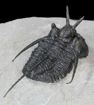 "Buy ""Devil Horned"" Cyphaspis Walteri Trilobite - 1.5"" - #39778"