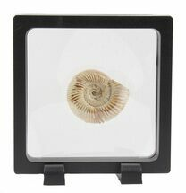 "1.7"" Perisphinctes Ammonite Fossil In Display Case For Sale, #40019"