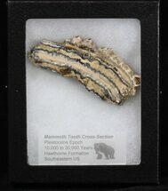 Mammuthus columbi - Fossils For Sale - #40101