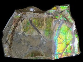 "1.3"" Iridescent Ammolite - Fossil Ammonite Shell For Sale, #40190"