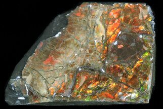 "1.35"" Iridescent Ammolite - Fossil Ammonite Shell For Sale, #40196"