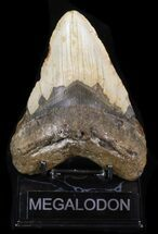 "Buy Bargain 5.48"" Megalodon Tooth - North Carolina - #40246"