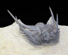 "1.25"" Spiny Leonaspis Trilobite - Foum Zguid, Morocco For Sale, #40148"