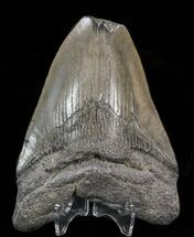 Carcharocles megalodon - Fossils For Sale - #39933