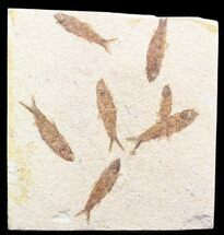 "Multiple Knightia Fossil Fish Plate - 6.6x6.4"" For Sale, #41045"