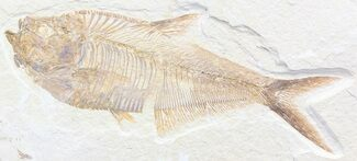 "Buy Detailed, 6.1"" Diplomystus Fossil Fish - Wyoming - #41047"