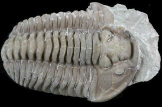 "Bargain 1.04"" Flexicalymene Trilobite - Ohio For Sale, #40748"