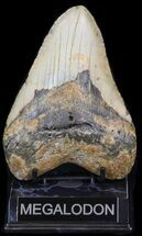 "Buy Bargain 5.50"" Megalodon Tooth - North Carolina - #41155"