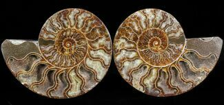 Cleoniceras cleon - Fossils For Sale - #41175