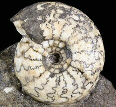 "1.5"" Craspedites Ammonite Fossil - Russia For Sale, #41510"