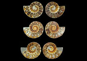 "Buy Bulk 1 - 1.25"" Cut, Agatized Ammonite Fossils - 25 Pack  - #41620"