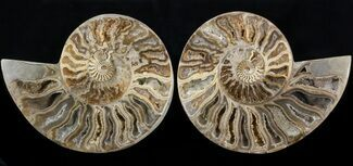 Choffaticeras sp. - Fossils For Sale - #41667