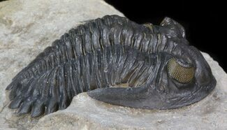 "1.75"" Beautiful, Chocolate Brown Hollardops Trilobite For Sale, #41831"