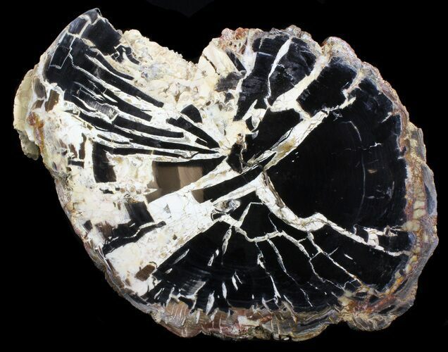"14.6"" Petrified Wood Slab - Hampton Butte, Oregon"