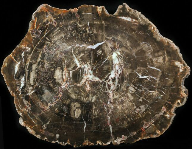 "11"" Petrified Wood (Araucaria) Round - Arizona"