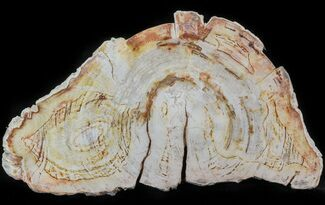 "11.8"" Petrified Wood (Tropical Hardwood) Slab - Indonesia For Sale, #41897"